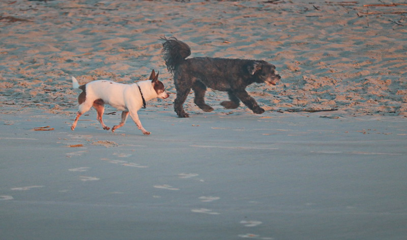 Dog Buddies on the Beach