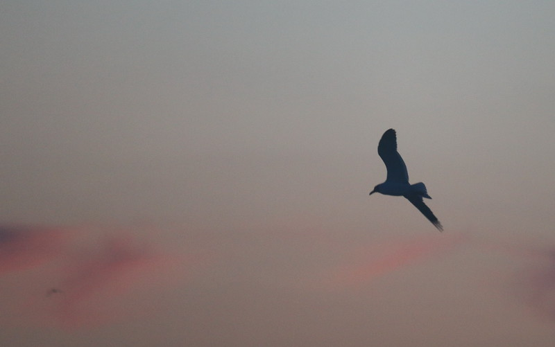 Seagull at Sunrise