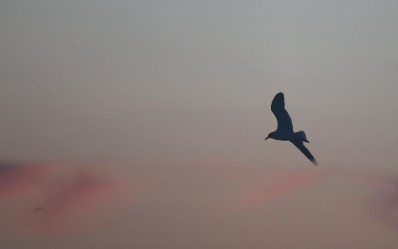 Seagull at Sunrise