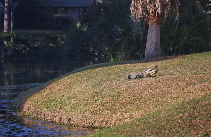 Alligator in the Back Yard