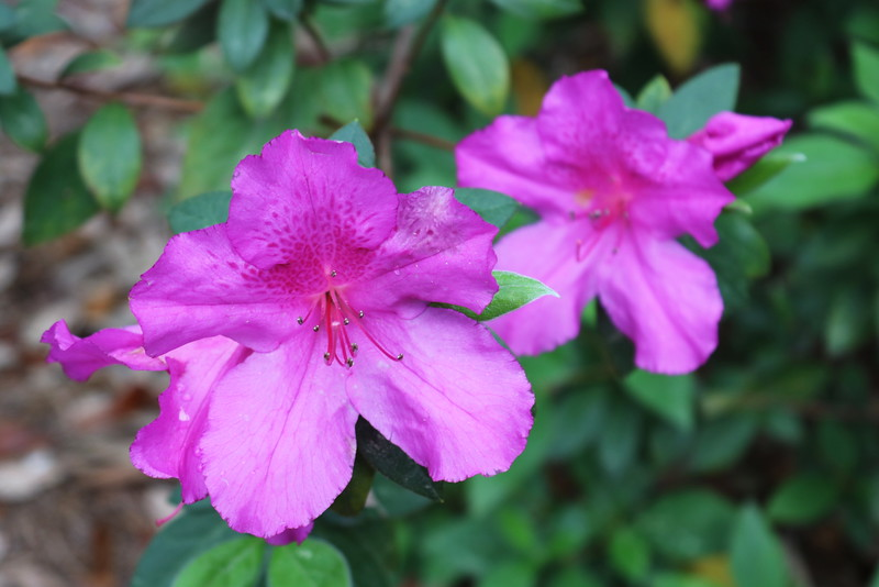 Dark Pink Azalea Blossoms