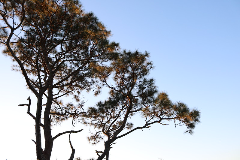 Loblolly Pine at Dawn