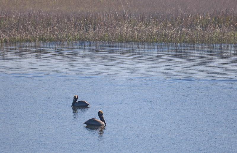 Pelicans near the Salt Marsh