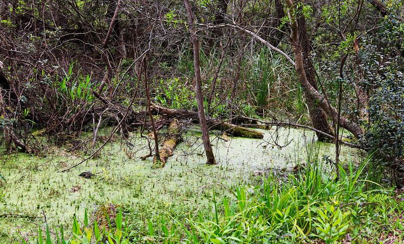 Algae in the Pond