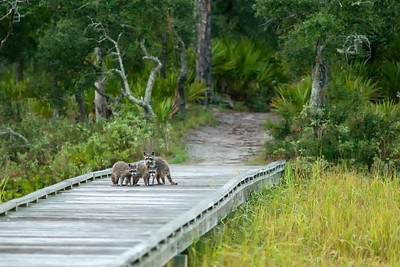 Racoons on the Marsh Boardwalk at Hunting Island State Park