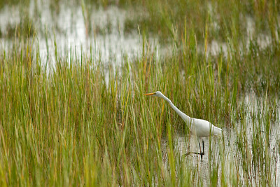 Great Egret on the Marsh Boardwalk at Hunting Island State Park