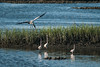 A woodstork flies over the saltwater marsh at Huntington Beach State Park in Murrells Inlet, SC on Tuesday, May 24, 2016. Copyright 2016 Jason Barnette