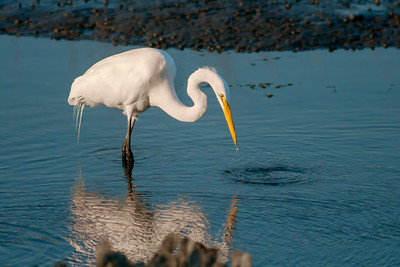An Egret at Huntington Beach State Park