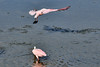 A spoonbill takes flight as another feeds in the waters of the salt marsh at Huntington Beach State Park in Murrells Inlet, SC on Wednesday, September 4, 2013. Copyright 2013 Jason Barnette