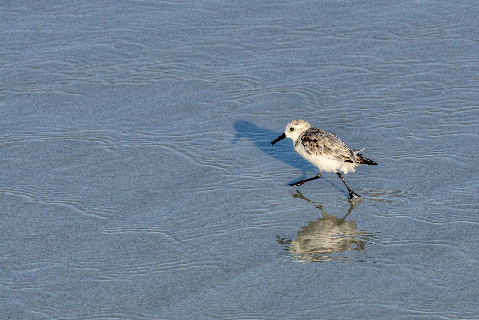 A small shorebird runs across the shallow water at the edge of the ocean at Huntington Beach State Park in Murrells Inlet, SC on Sunday, September 1, 2013. Copyright 2013 Jason Barnette