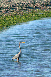 A Blue Heron at Huntington Beach State Park