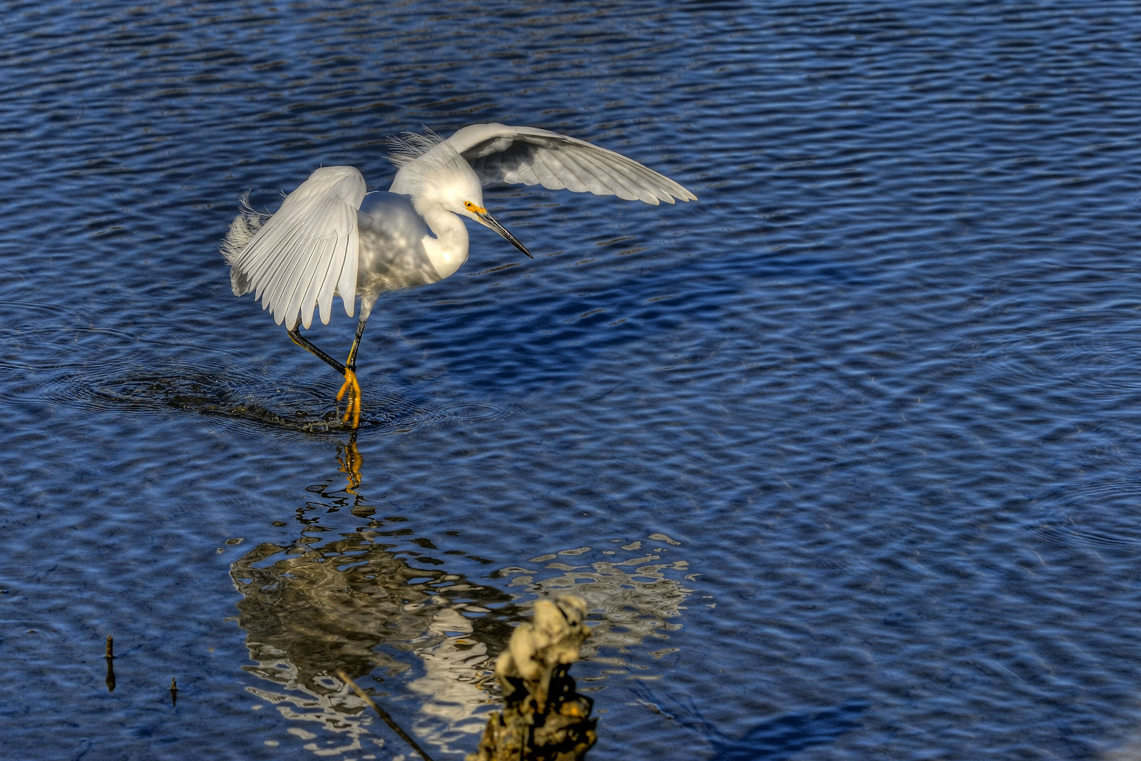 A snowy egret lands in the water in Huntington Beach State Park in Murrells Inlet, South Carolina on Monday, January 30, 2012. Copyright 2012 Jason Barnette
