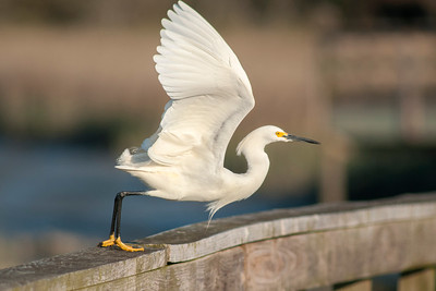 A Snowy Egret at Huntington Beach State Park