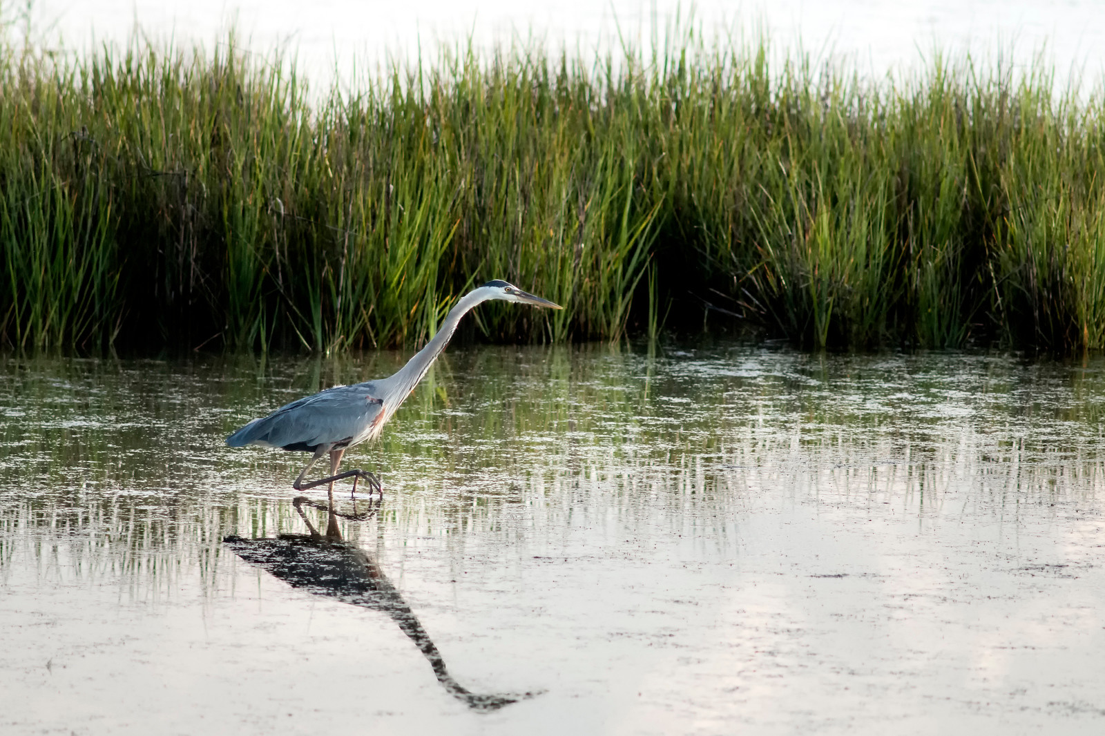 A blue heron walks through the shallow waters of the lake at Huntington Beach State Park in Murrells Inlet, SC on Friday, May 13, 2016. Copyright 2016 Jason Barnette