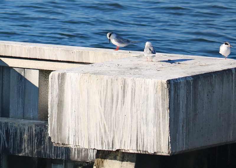 Terns on the Jetty