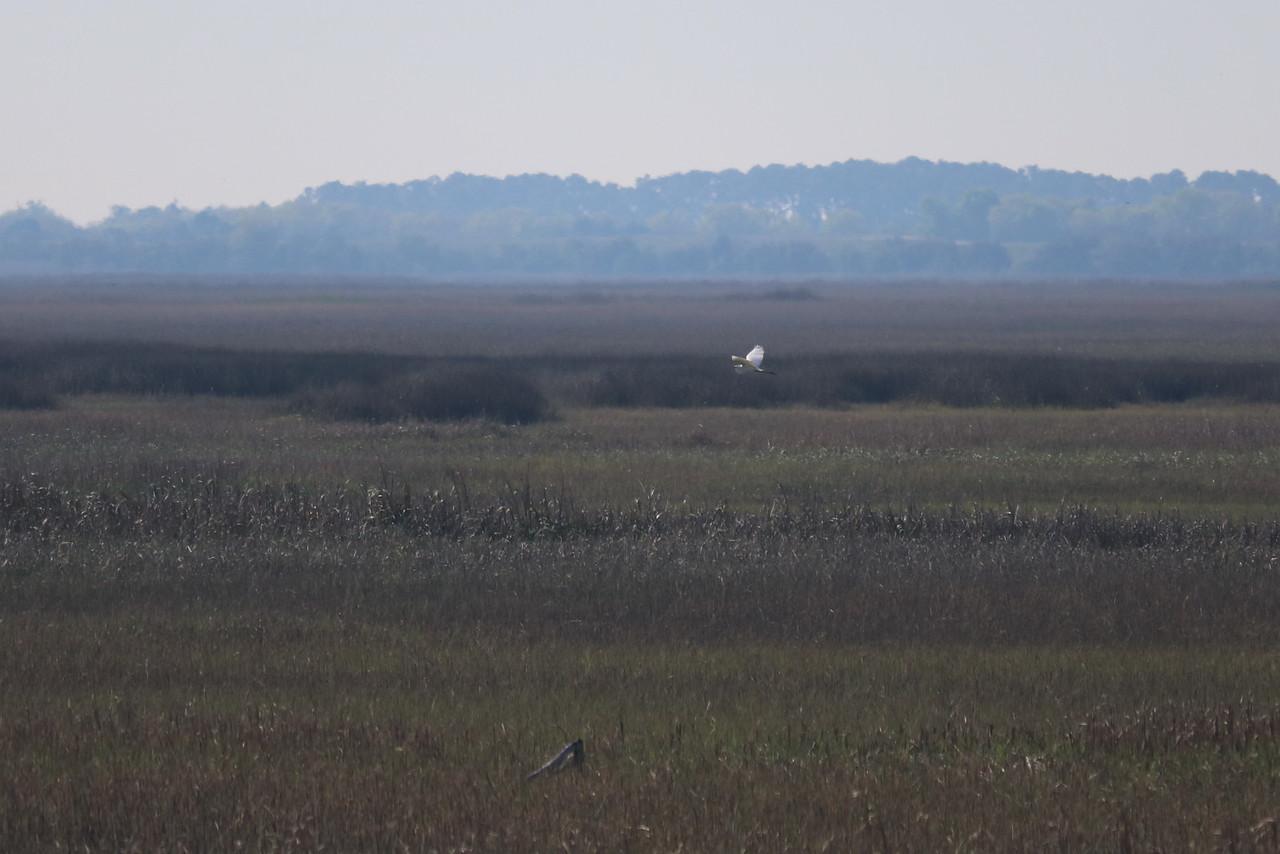 Great White Egret over the Salt Marsh