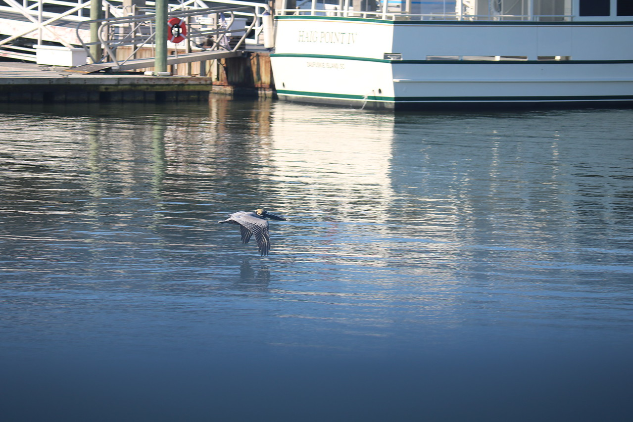 Pelican Skims the Surface near the Dock