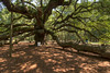 Branches are supported by poles, cables, and the ground surrounding the Angel Oak Tree, located inside the Angel Oak Park, in John's Island, SC on Tuesday, July 8, 2014. Copyright 2014 Jason Barnette  The tree and park is owned and operated by the City of Charleston. The tree is believed to be at least 400 years old, and might be as many as 1500 years old. The park is gated and secured during closed hours, and includes a gift shop and picnic tables for visitors during operating hours.