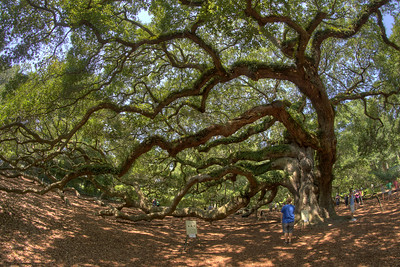 People explore around the Angel Oak Tree, located inside the Angel Oak Park, in John's Island, SC on Tuesday, July 8, 2014. Copyright 2014 Jason Barnette  The tree and park is owned and operated by the City of Charleston. The tree is believed to be at least 400 years old, and might be as many as 1500 years old. The park is gated and secured during closed hours, and includes a gift shop and picnic tables for visitors during operating hours.