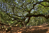 The enormous branches of the tree grow along the ground around the Angel Oak Tree, located inside the Angel Oak Park, in John's Island, SC on Tuesday, July 8, 2014. Copyright 2014 Jason Barnette  The tree and park is owned and operated by the City of Charleston. The tree is believed to be at least 400 years old, and might be as many as 1500 years old. The park is gated and secured during closed hours, and includes a gift shop and picnic tables for visitors during operating hours.