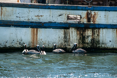 A group of pelicans await scraps from a recently-docked fish boat at Shem Creek Boardwalk in Mount Pleasant, SC on Friday, May 27, 2016. Copyright 2016 Jason Barnette