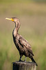 An anhinga perches atop a post along The Marshwalk in Murrells Inlet, SC on Monday, May 23, 2016. Copyright 2016 Jason Barnette