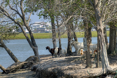 Goats stand along the banks of Goat Island in Murrells Inlet, SC on Tuesday, September 10, 2013. Copyright 2013 Jason Barnette