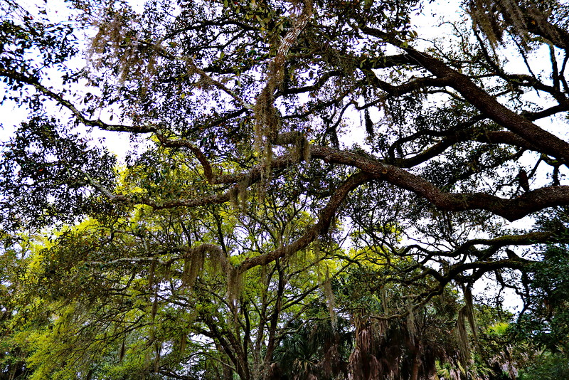 Spanish Moss on Forest Trees