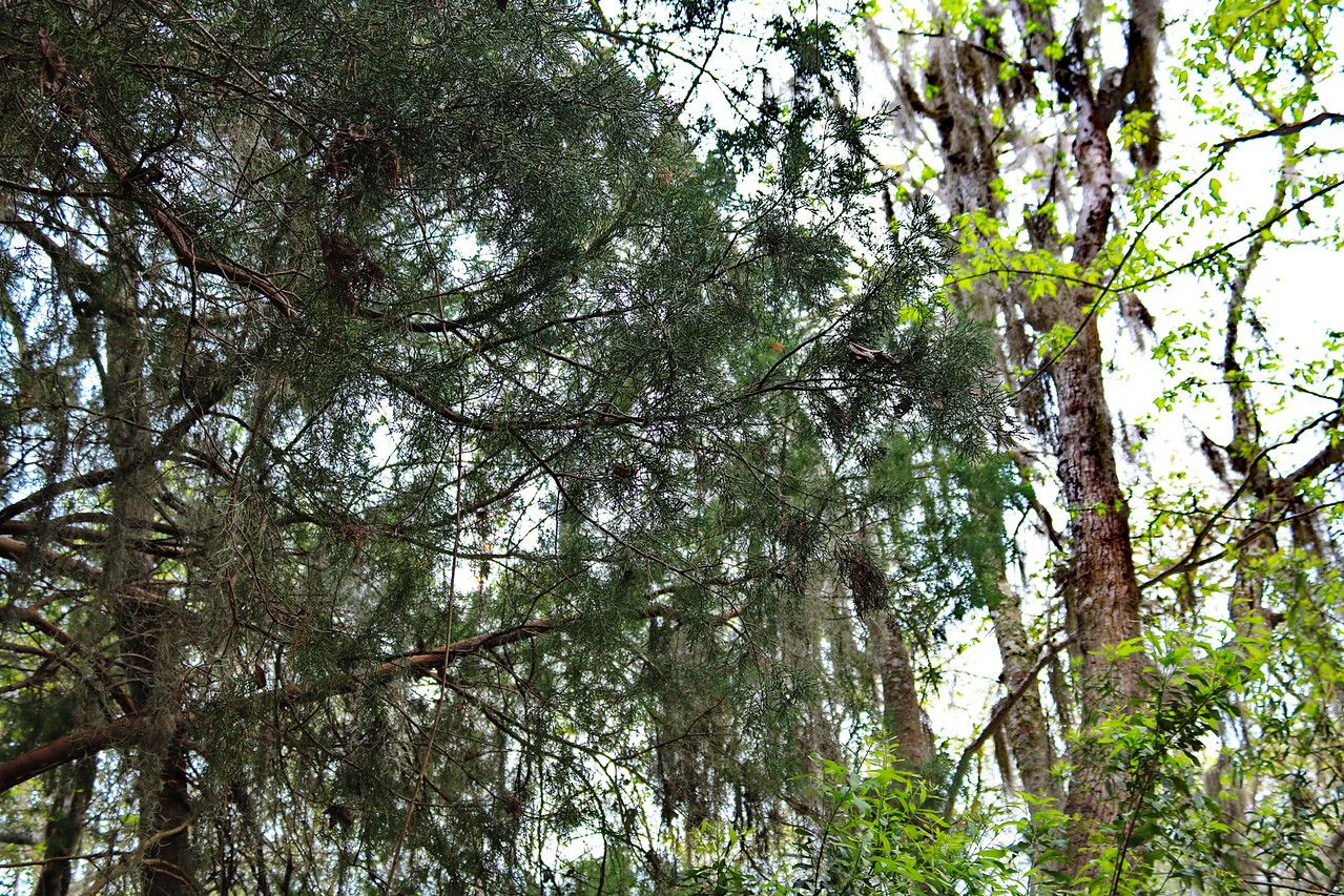 Spanish Moss on Southern Red Cedar