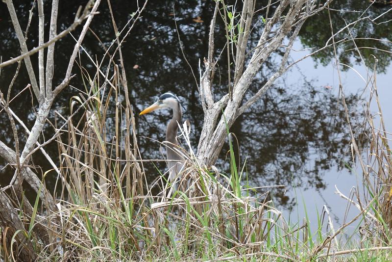 Blue Heron at the Pond's Edge