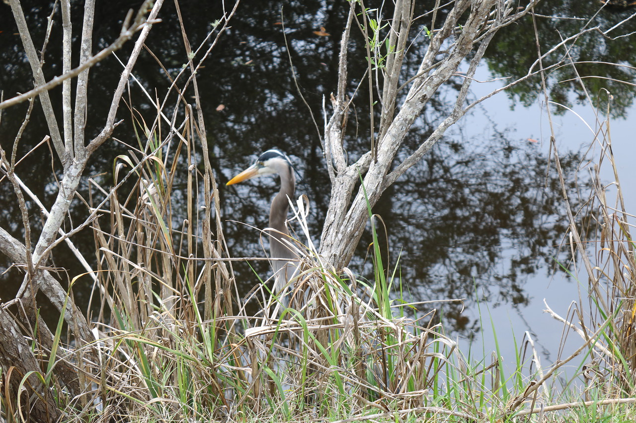 Blue Heron at the Pond's Edge