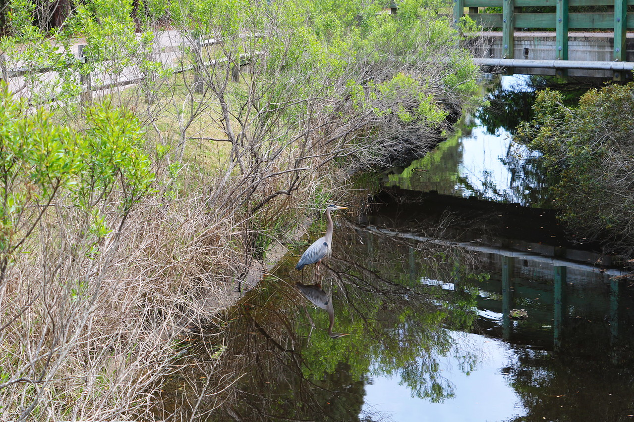 Blue Heron near the Bridge