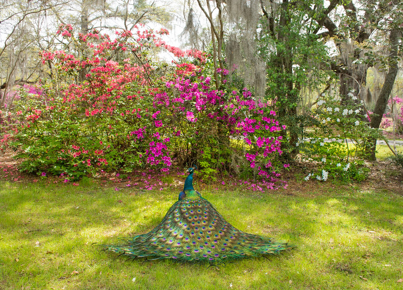 Beautiful Peacock spreading wings in blooming garden. Magnolia Plantation and Gardens, Charleston, South Carolina, USA
