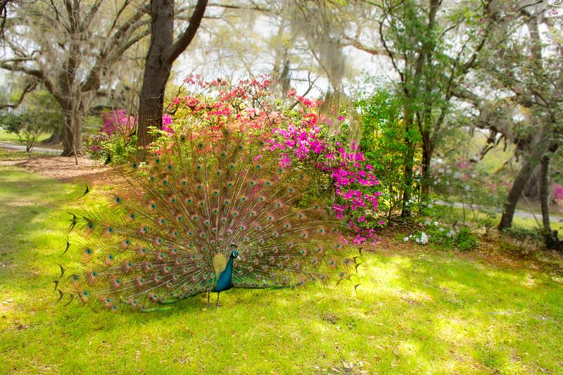 Beautiful Peacock spreading wings. Magnolia Plantation and Gardens, Charleston, South Carolina, USA