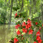 Beautiful azalea blooming in the forest.