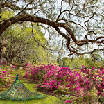 Beautiful Peacock  in blooming garden. Azaleas in bloom under oak tree with Spanish moss.Magnolia Plantation and Gardens, Charleston, South Carolina, USA