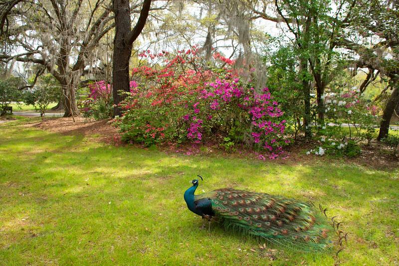 Beautiful Peacock in Blooming Garden.