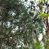 Spanish Moss on Southern Red Cedar