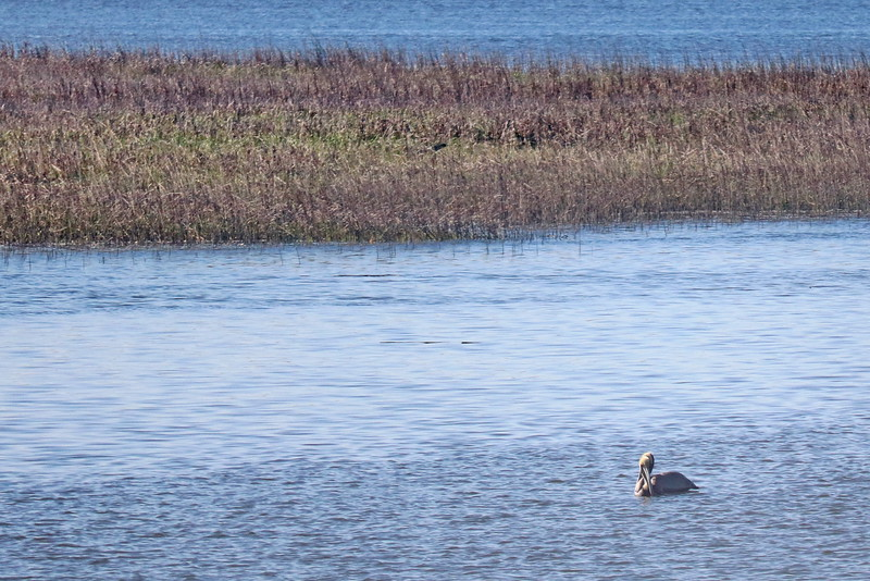 Pelican near the Salt Marsh