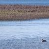 Pelican near the Salt Marsh