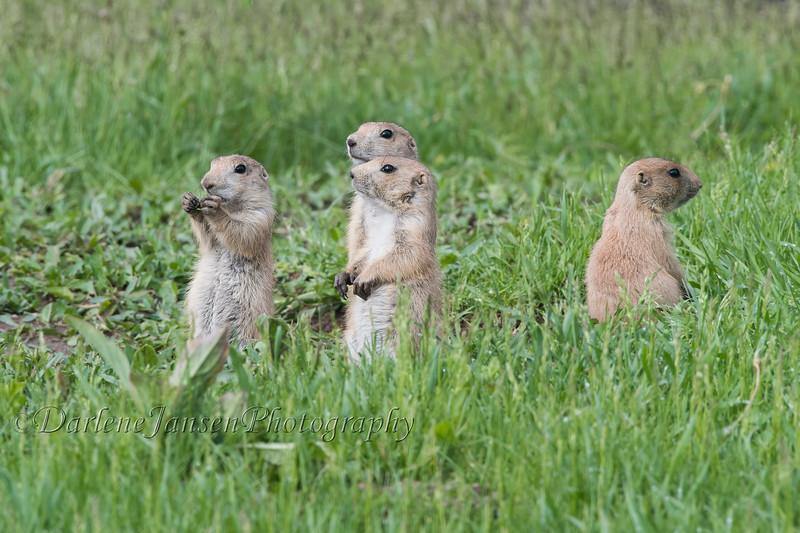 Prairie Dogs  #4