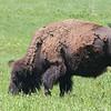 Buffalo  #15