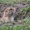 Prairie Dog  #18