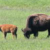 Buffalo with Calf  #26