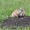 Young Prairie Dog Pups  #28