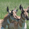 Pronghorns  #20