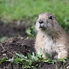 Prairie Dog  #13