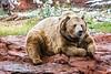 Brown Bear (aka Grizzly Bears)