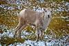 Rick's POTD - Mountain Goat