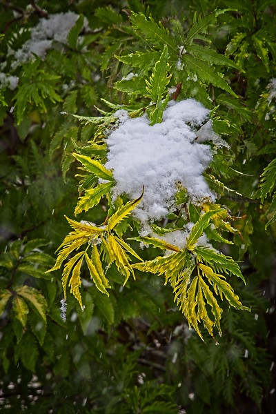 Snow Caught on the Branches
